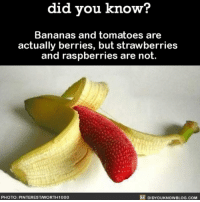 Amazon, Apple, and Facebook: did you know?  Bananas and tomatoes are  actually berries, but strawberries  and raspberries are not.  DIDYouKNowBLOGs.coM  PHOTO: PINTERESTNORTH1000 Not confusing at all 🙃🍓🍌 food fruit berries language 📢 Share the knowledge! Tag your friends in the comments. ➖➖➖➖➖➖➖➖➖➖➖ Want more Did You Know(s)? ➡📓 Buy our book on Amazon: [LINK IN BIO] ➡📱 Download our App: http:-apple.co-2i9iX0u ➡📩 Get daily text message alerts: http:-Fact-Snacks.com ➡📩 Free email newsletter: http:-DidYouKnowFacts.com-Sign-Up- ➖➖➖➖➖➖➖➖➖➖➖ We post different content across our channels. Follow us so you don't miss out! 📍http:-facebook.com-didyouknowblog 📍http:-twitter.com-didyouknowfacts ➖➖➖➖➖➖➖➖➖➖➖ DYN FACTS TRIVIA TIL DIDYOUKNOW NOWIKNOW