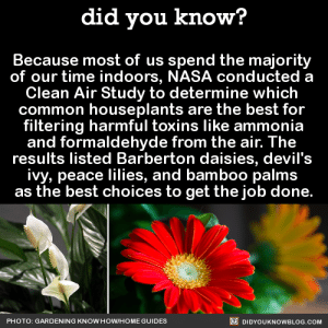 Cats, Children, and Community: did you know?  Because most of us spend the majority  of our time indoors, NASA conducted a  Clean Air Study to determine which  common houseplants are the best for  filtering harmful toxins like ammonia  and formaldehyde from the air. The  results listed Barberton daisies, devil's  ivy, peace lilies, and bamboo palms  as the best choices to get the job done.  PHOTO: GARDENING KNOW HOWIHOME GUIDES  DIDYOUKNOWBLOG.COM awkward-ravby: did-you-kno:  Because most of us spend the majority  of our time indoors, NASA conducted a  Clean Air Study to determine which  common houseplants are the best for  filtering harmful toxins like ammonia and formaldehyde from the air.   **Please note: Several of these plants are known to be toxic to cats, dogs and other pets. If you are a pet owner, please do check the toxicity of plants before introducing them to your home.** Source Source 2   There's a good site to reference when trying to make sure you don't accidentally poison your fur children! http://www.tailsmart.com/11-detoxifying-plants-that-are-safe-for-cats-and-dogs/