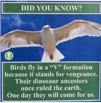 "DID YOU KNOW?  Birds fly in a ""V"" formation  because it stands for vengeance.  Their dinosaur ancestors  once ruled the earth.  One day they will come for us. I knew"