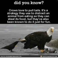 Kind of annoying, kind of clever. 😏 crow birds funny interesting ➡️📓 Buy our book on Amazon: [LINK IN BIO]: did you know?  Crows love to pull tails. It's a  strategy they use to distract an  animal from eating so they can  steal its food, but they've also  been known to do it just for fun.  DIDyouKNowBLOG.coM  PHOTO: ROSEMARY WASHINGTON Kind of annoying, kind of clever. 😏 crow birds funny interesting ➡️📓 Buy our book on Amazon: [LINK IN BIO]