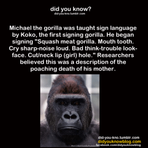 "Bad, Children, and Facebook: did you know?  did-you-kno.tumblr.com  Michael the gorilla was taught sign language  by Koko, the first signing gorilla. He began  signing ""Squash meat gorilla. Mouth tooth  Cry sharp-noise loud. Bad think-trouble look-  face. Cut/neck lip (girl) hole."" Researchers  believed this was a description of the  poaching death of his mother.  did-you-kno.tumblr.com  didyouknowblog.com  Cohen Gi n facebook.com/didyouknowblog death-limes:  venipede:  osteophagy:  endcetaceanexploitation:  Washoe was a chimp who was taught sign language. One of Washoe's caretakers was pregnant and missed work for many weeks after she miscarried. Roger Fouts recounts the following situation: ""People who should be there for her and aren't are often given the cold shoulder—her way of informing them that she's miffed at them. Washoe greeted Kat [the caretaker] in just this way when she finally returned to work with the chimps. Kat made her apologies to Washoe, then decided to tell her the truth, signing ""MY BABY DIED."" Washoe stared at her, then looked down. She finally peered into Kat's eyes again and carefully signed ""CRY"", touching her cheek and drawing her finger down the path a tear would make on a human (Chimpanzees don't shed tears). Kat later remarked that one sign told her more about Washoe and her mental capabilities than all her longer, grammatically perfect sentences."" [23] Washoe herself lost two children; one baby died shortly after birth of a heart defect, the other baby, Sequoyah, died of a staph infection at two months of age.  more about Washoe: after the death of her children, researchers were determined to have Washoe raise a baby and brought in a ten month chimpanzee named Loulis. one of the caretakers went to Washoe's enclosure and signed ""i have a baby for you."" Washoe became incredibly excited, yelling and swaying from side to side, signing ""baby"" over and over again. then she signed ""my baby."" the caretaker came back with Loulis, and Washoe's excitement disappeared entirely. she refused to pick Loulis up, instead signing ""baby"" apathetically; it was clear that the baby she thought she was getting was going to be Sequoyah. eventually Washoe did approach Loulis, and by the next day the two had bonded and from then on she was utterly devoted to him. *information shamelessly paraphrased from When Elephants Weep by Jeffrey Masson.  Even more interestingly, after Washoe and Loulis bonded, she started teaching him American Sign Language the same way that human parents teach their children language. It only took Loulis eight days to learn his first sign from Washoe, and aside from the seven that his human handlers learned around him, he learned to speak in ASL just as fluently as Washoe and was able to communicate with humans in the same way she could.  now if y'all don't think this is the tightest shit you can get outta my face"