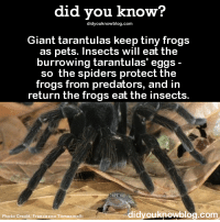 rapid-artwork: fedoraspooky:  sir-p-audax:  bogleech:  did-you-kno:  Giant tarantulas keep tiny frogs as pets. Insects will eat the burrowing tarantulas' eggs - so the spiders protect the frogs from predators, and in return the frogs eat the insects. Source  This has blown my mind for years. It's so unreal. It's almost the same exact reason humans and cats started living together. Tiny frogs are tarantula housecats. A science fact seldom gets to sound that much like meaningless word salad.  This is legit, guys. And I'm excited about it.  Someone needs to draw a tarantula person with a tiny pet housefrog now. Please let this be a thing.   How is this? : did you know?  didyouknowblog.com  Giant tarantulas keep tiny frogs  as pets. Insects will eat the  burrowing tarantulas' eggs  so the spiders protect the  frogs from predators, and in  return the frogs eat the insects  di  dyouknowblog.com  Photo Credit: Francesco Tomasinelli rapid-artwork: fedoraspooky:  sir-p-audax:  bogleech:  did-you-kno:  Giant tarantulas keep tiny frogs as pets. Insects will eat the burrowing tarantulas' eggs - so the spiders protect the frogs from predators, and in return the frogs eat the insects. Source  This has blown my mind for years. It's so unreal. It's almost the same exact reason humans and cats started living together. Tiny frogs are tarantula housecats. A science fact seldom gets to sound that much like meaningless word salad.  This is legit, guys. And I'm excited about it.  Someone needs to draw a tarantula person with a tiny pet housefrog now. Please let this be a thing.   How is this?
