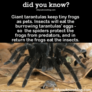nightkunoichi:  rapid-artwork:  fedoraspooky:  sir-p-audax:  bogleech:  did-you-kno:  Giant tarantulas keep tiny frogs as pets. Insects will eat the burrowing tarantulas' eggs - so the spiders protect the frogs from predators, and in return the frogs eat the insects. Source  This has blown my mind for years. It's so unreal. It's almost the same exact reason humans and cats started living together. Tiny frogs are tarantula housecats. A science fact seldom gets to sound that much like meaningless word salad.  This is legit, guys. And I'm excited about it.  Someone needs to draw a tarantula person with a tiny pet housefrog now. Please let this be a thing.   How is this?  This entire post is magic. And that is so cool how the Tarantula will protect the frog. :3 : did you know?  didyouknowblog.com  Giant tarantulas keep tiny frogs  as pets. Insects will eat the  burrowing tarantulas' eggs  so the spiders protect the  frogs from predators, and in  return the frogs eat the insects  di  dyouknowblog.com  Photo Credit: Francesco Tomasinelli nightkunoichi:  rapid-artwork:  fedoraspooky:  sir-p-audax:  bogleech:  did-you-kno:  Giant tarantulas keep tiny frogs as pets. Insects will eat the burrowing tarantulas' eggs - so the spiders protect the frogs from predators, and in return the frogs eat the insects. Source  This has blown my mind for years. It's so unreal. It's almost the same exact reason humans and cats started living together. Tiny frogs are tarantula housecats. A science fact seldom gets to sound that much like meaningless word salad.  This is legit, guys. And I'm excited about it.  Someone needs to draw a tarantula person with a tiny pet housefrog now. Please let this be a thing.   How is this?  This entire post is magic. And that is so cool how the Tarantula will protect the frog. :3