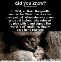 "Amazon, Apple, and Cats: did you know?  didyouknowblog.com  In 1984, all Koko the gorilla  wanted for Christmas was her  own pet cat. When she was given  a toy cat instead, she refused  to play with it and signed the  word ""sad"" until they finally  gave her a real one.  Photo Credit: koko.org  didyouknowblog com Honestly, same. 😻 cats therealdeal koko cute 📢 Share the knowledge! Tag your friends in the comments. ➖➖➖➖➖➖➖➖➖➖➖ Want more Did You Know(s)? ➡📓 Buy our book on Amazon: [LINK IN BIO] ➡📱 Download our App: http:-apple.co-2i9iX0u ➡📩 Get daily text message alerts: http:-Fact-Snacks.com ➡📩 Free email newsletter: http:-DidYouKnowFacts.com-Sign-Up- ➖➖➖➖➖➖➖➖➖➖➖ We post different content across our channels. Follow us so you don't miss out! 📍http:-facebook.com-didyouknowblog 📍http:-twitter.com-didyouknowfacts ➖➖➖➖➖➖➖➖➖➖➖ DYN FACTS TRIVIA TIL DIDYOUKNOW NOWIKNOW"
