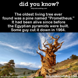 "Alive, Bad, and Crying: did you know?  didyouknowblog.com  The oldest living tree ever  found was a pine named ""Prometheus.""  It had been alive since before  the Egyptian pyramids were built.  Some guy cut it down in 1964  didyouknowblog.com  Photo Credit: wordsmith.com paramud:  wellshitcaitlin: aclockworknick:  did-you-kno:  The oldest living tree ever found was a pine named ""Prometheus."" It had been alive since before the Egyptian pyramids were built. Some guy cut it down in 1964. Source  he was actually a forestry graduate student who was doing research on bristlecone pines (Pinus langaevea) and got his increment borer stuck in the tree. this tool costs almost $800, so he asked the forest service if he could cut down the tree to recover the tool. after cutting it down, it became apparent that the tree was actually the oldest living organism. ever. (around 8,000 years old). so, not just some asshole. the guy feels extremely guilty and has even broken down in tears during an interview about the accident   OH MY GOD SO LET ME TELL YOU A STORY So after the grad student cut down the tree and discovered it was the oldest tree in the world he quit studying forestry and went to study salt flats (can't cut down the oldest trees in the world on salt flats no siree none of that happening) and he was being interviewed about his research, but in the middle of the interview the reporter just stops and says ""wait aren't the guy that…"" And he just takes off running. Literally. Turns around and runs across the salt flats away from the interview and I feel so bad for him but I can't help but start crying I'm laughing so hard about it imagine a guy high tailing it across salt flats away from a dude with a recorder  Prometheus's age is actually unknown, but it's more closely estimated to have been around  4862 years. The oldest living non-clonal tree is actually a Great Basin bristlecone pine in White Mountains, California, at 5066 years old. The oldest clonal tree, however, is a colony of Quaking Aspen in Utah called Pando. Covering 107 acres and having roughly 47,000 stems, Pando's root system is estimated to be anywhere between 80,000 and 1,000,000 years old."