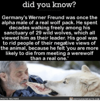 "Memes, Germany, and Reuters: did you know?  Germany's Werner Freund was once the  alpha male of a real wolf pack. He spent  decades walking freely among his  sanctuary of 29 wild wolves, which all  viewed him as their leader. His goal was  to rid people of their negative views of  the animal, because he felt you are more  likely to die from meeting a werewolf  than a real one.""  DIDYou  PHOTO: REUTERS  KNOW FACTS COM My dog barely likes me. 🐺 wolves awesome badass stories ➡📱Download our free App: [LINK IN BIO]"
