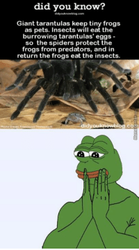 Memes, Spider, and Giant: did you know?  Giant tarantulas keep tiny frogs  as pets. Insects will eat the  burrowing tarantulas' eggs  so the spiders protect the  frogs from predators, and in  return the frogs eat the insects.  dyouknowblog.coE)  Franca aco Tomasin  Photo Credit They have pets too!