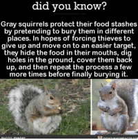 Stealthy AF 🐿 squirrelsofinstagram funny weird stealthy 📢 Share the knowledge! Tag your friends in the comments. ➖➖➖➖➖➖➖➖➖➖➖ Want more Did You Know(s)? ➡📓 Buy our book on Amazon: [LINK IN BIO] ➡📱 Download our App: http:-apple.co-2i9iX0u ➡📩 Get daily text message alerts: http:-Fact-Snacks.com ➡📩 Free email newsletter: http:-DidYouKnowFacts.com-Sign-Up- ➖➖➖➖➖➖➖➖➖➖➖ We post different content across our channels. Follow us so you don't miss out! 📍http:-facebook.com-didyouknowblog 📍http:-twitter.com-didyouknowfacts ➖➖➖➖➖➖➖➖➖➖➖ DYN FACTS TRIVIA TIL DIDYOUKNOW NOWIKNOW: did you know?  Gray squirrels protect their food stashes  by pretending to bury them in different  places. In hopes of forcing thieves to  give up and move on to an easier target,  they hide the food in their mouths, dig  holes in the ground, cover them back  up, and then repeat the process a few  more times before finally burying it.  PHOTO PIYARAY Stealthy AF 🐿 squirrelsofinstagram funny weird stealthy 📢 Share the knowledge! Tag your friends in the comments. ➖➖➖➖➖➖➖➖➖➖➖ Want more Did You Know(s)? ➡📓 Buy our book on Amazon: [LINK IN BIO] ➡📱 Download our App: http:-apple.co-2i9iX0u ➡📩 Get daily text message alerts: http:-Fact-Snacks.com ➡📩 Free email newsletter: http:-DidYouKnowFacts.com-Sign-Up- ➖➖➖➖➖➖➖➖➖➖➖ We post different content across our channels. Follow us so you don't miss out! 📍http:-facebook.com-didyouknowblog 📍http:-twitter.com-didyouknowfacts ➖➖➖➖➖➖➖➖➖➖➖ DYN FACTS TRIVIA TIL DIDYOUKNOW NOWIKNOW