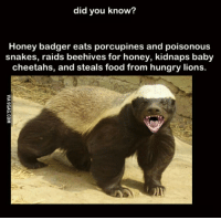 did you know?  Honey badger eats porcupines and poisonous  snakes, raids beehives for honey, kidnaps baby  cheetahs, and steals food from hungry lions