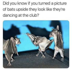 Club, Dancing, and Dank: Did you know if you turned a picture  of bats upside they look like they're  dancing at the club? They also only have Batardi as Bacardi is too mainstream. by fatehpuria92 FOLLOW HERE 4 MORE MEMES.