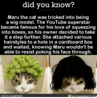 If I was a cat owner this is what I would do. 🐱 cats wigs funny ➡📱Download our free App: http:-apple.co-2i9iX0u: did you know?  Maru the cat was tricked into being  a wig model. The YouTube superstar  became famous for his love of squeezing  into boxes, so his owner decided to take  it a step further. She attached various  hairstyles to a hole in a cardboard box  and waited, knowing Maru wouldn't be  able to resist poking his face through  PHOTO: B  LAZEPRESS If I was a cat owner this is what I would do. 🐱 cats wigs funny ➡📱Download our free App: http:-apple.co-2i9iX0u