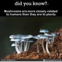 "<p><a href=""http://slbtumblng.tumblr.com/post/174432179214/did-you-kno-mushrooms-are-more-closely-related"" class=""tumblr_blog"" target=""_blank"">slbtumblng</a>:</p>  <blockquote><p><a href=""http://didyouknowblog.com/post/174421105394/mushrooms-are-more-closely-related-to-humans-than"" class=""tumblr_blog"" target=""_blank"">did-you-kno</a>:</p><blockquote><p>Mushrooms are more closely related  to humans than they are to plants.  <a href=""http://ucjeps.berkeley.edu/DeepGreen/NYTimes.html"" target=""_blank"">Source</a> <a href=""http://courses.botany.wisc.edu/botany_422/Tree_of_Life_back.pdf"" target=""_blank"">Source 2</a> <a href=""https://www.nytimes.com/1993/04/16/us/animals-and-fungi-evolutionary-tie.html"" target=""_blank"">Source 3</a></p></blockquote> <figure class=""tmblr-full"" data-orig-height=""846"" data-orig-width=""500"" style=""""><img src=""https://78.media.tumblr.com/72c4a9c1a5c42611ca526baa8cd84373/tumblr_o8l7i4sSe41r5kws5o1_640.png"" data-orig-height=""846"" data-orig-width=""500""/></figure><p>Hmmm…</p></blockquote>: did you know?  Mushrooms are more closely related  to humans than they are to plants.  PHOTO: WIKIMEDIA CC  回DIDYOUKNOWFACTS.COM <p><a href=""http://slbtumblng.tumblr.com/post/174432179214/did-you-kno-mushrooms-are-more-closely-related"" class=""tumblr_blog"" target=""_blank"">slbtumblng</a>:</p>  <blockquote><p><a href=""http://didyouknowblog.com/post/174421105394/mushrooms-are-more-closely-related-to-humans-than"" class=""tumblr_blog"" target=""_blank"">did-you-kno</a>:</p><blockquote><p>Mushrooms are more closely related  to humans than they are to plants.  <a href=""http://ucjeps.berkeley.edu/DeepGreen/NYTimes.html"" target=""_blank"">Source</a> <a href=""http://courses.botany.wisc.edu/botany_422/Tree_of_Life_back.pdf"" target=""_blank"">Source 2</a> <a href=""https://www.nytimes.com/1993/04/16/us/animals-and-fungi-evolutionary-tie.html"" target=""_blank"">Source 3</a></p></blockquote> <figure class=""tmblr-full"" data-orig-height=""846"" data-orig-width=""500"" style=""""><img src=""https://78.media.tumblr.com/72c4a9c1a5c42611ca526baa8cd84373/tumblr_o8l7i4sSe41r5kws5o1_640.png"" data-orig-height=""846"" data-orig-width=""500""/></figure><p>Hmmm…</p></blockquote>"