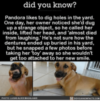 Amazon, Apple, and Cute: did you know?  Pandora likes to dig holes in the yard.  One day, her own  noticed she'd dug  up a strange object, so he called her  inside, lifted her head, and 'almost died  from laughing. He's not sure how the  dentures ended up buried in his yard,  but he snapped a few photos before  taking her 'toy' away so she wouldn't  get too attached to her new smile.  DIDYOUKNOWFACTs.coM  PHOTO: LUCASALVESMAGALH  dES Check out that smile! 😂❤️🐶 funny awesome dogs dogsofinsta cute 📢 Share the knowledge! Tag your friends in the comments. ➖➖➖➖➖➖➖➖➖➖➖ Want more Did You Know(s)? ➡📓 Buy our book on Amazon: [LINK IN BIO] ➡📱 Download our App: http:-apple.co-2i9iX0u ➡📩 Get daily text message alerts: http:-Fact-Snacks.com ➡📩 Free email newsletter: http:-DidYouKnowFacts.com-Sign-Up- ➖➖➖➖➖➖➖➖➖➖➖ We post different content across our channels. Follow us so you don't miss out! 📍http:-facebook.com-didyouknowblog 📍http:-twitter.com-didyouknowfacts ➖➖➖➖➖➖➖➖➖➖➖ DYN FACTS TRIVIA TIL DIDYOUKNOW NOWIKNOW