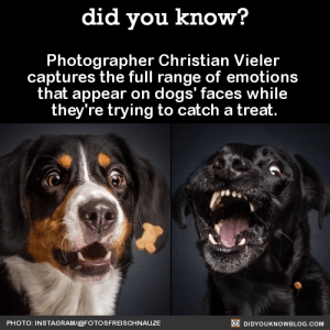 Bad, Dogs, and News: did you know?  Photographer Christian Vieler  captures the full range of emotion:s  that appear on dogs' faces while  they're trying to catch a treat  PHOTO: INSTAGRAMI@FOTOSFREISCHNAUZE  DIDYOUKNOWBLOG.COM lilmissmonsterous:  cadmiumcrows:  did-you-kno:  Photographer Christian Vieler captures the full range of emotions that appear on dogs' faces while they're trying to catch a treat. Source  This is good and pure  Just for a break from all the bad