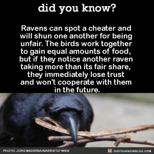 "Dinosaur, Food, and Future: did you know?  Ravens can spot a cheater and  will shun one another for being  unfair. The birds work together  to gain equal amounts of food,  but if they notice another raven  taking more than its fair share  they immediately lose trust  and won't cooperate with them  in the future  PHOTO: JORG MASSEN/UNIVERSITäT WIEN  DIDYOUKNOWBLOG.COM a-dinosaur-a-day:  specsthespectraldragon:  bitterpunktrash:  gender-identity-crisis:  did-you-kno:  In an experiment, two ravens had to simultaneously pull the two ends of one rope to slide a platform with two pieces of cheese into reach. If only one of them pulled, the rope would slip through the loops, leaving them with no cheese. Without any training they solved the task and cooperated successfully. However, when one of the two birds cheated and stole the reward of its companion, the victims of such cheats immediately noticed and started defecting in further trials with the same individual. ""Such a sophisticated way of keeping your partner in check has previously only been shown in humans and chimpanzees, and is a complete novelty among birds."" Source  GET A LOAD OF THAT BIRD COMMUNISM  follow for more soft bird communism  @a-dinosaur-a-day BIRD COMMUNISM (you've probably been pinged for this post like 2000000 times I am sorry)  This is a completely different sort of bird communism though"