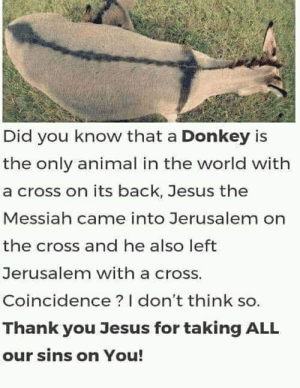 Donkey, Jesus, and True: Did you know that a Donkey is  the only animal in the world with  a cross on its back, Jesus the  Messiah came into Jerusalem on  the cross and he also left  Jerusalem with a cross.  Coincidence? I don't think  Thank you Jesus for taking ALL  our sins on You! So true!!!! Like and share!!!