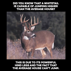 House, Powerful, and Did: DID YOU KNOW THAT A WHITETAIL  IS CAPABLE OF JUMPING HIGHER  THAN THE AVERAGE HOUSE?  THIS IS DUE TO ITS POWERFUL  HIND LEGS AND THE FACT THAT  THE AVERAGE HOUSE CAN'T JUMP.