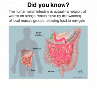 Food, Funny, and Meme: Did you know?  The human small intestine is actually a network of  worms on strings, which move by the twitching  of local muscle groups, allowing food to navigate  Small  Intestine  Stomach  Anus  Large  Rectum  Intestine  02009 WebMD, LLC Learn something everyday . . (Oc) . Backup: @raw.doggo Art: @overcooked.art . . meme memes comedy humour humor joke funny cringe doggo dog whyyoureadinthese