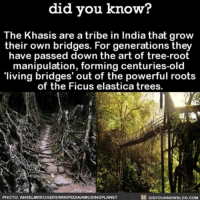 These are beautiful 🌉🌲 trees bridges nature India ➡📱Download our free App: http:-apple.co-2i9iX0u: did you know?  The Khasis are a tribe in India that grow  their own bridges. For generations they  have passed down the art of tree-root  manipulation, forming centuries-old  'living bridges' out of the powerful roots  of the Ficus elastica trees.  PHOTO: ANSELMRROGERSNIKIPEDIAAMUSINGPLANET  DIDYOUKNOWBLOG.COM These are beautiful 🌉🌲 trees bridges nature India ➡📱Download our free App: http:-apple.co-2i9iX0u