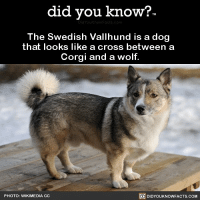 Amazon, Apple, and Corgi: did you know?  The Swedish Vallhund is a dog  that looks like a cross between a  Corgi and a wolf.  PHOTO: WIKIMEDIA CC  DIDYOUKNOWFACTS.COM Gimme that. ❤️🐶 dogs dogsofinstagram love 📢 Share the knowledge! Tag your friends in the comments. ➖➖➖➖➖➖➖➖➖➖➖ Want more Did You Know(s)? ➡📓 Buy our book on Amazon: [LINK IN BIO] ➡📱 Download our App: http:-apple.co-2i9iX0u ➡📩 Get daily text message alerts: http:-Fact-Snacks.com ➡📩 Free email newsletter: http:-DidYouKnowFacts.com-Sign-Up- ➖➖➖➖➖➖➖➖➖➖➖ We post different content across our channels. Follow us so you don't miss out! 📍http:-facebook.com-didyouknowblog 📍http:-twitter.com-didyouknowfacts ➖➖➖➖➖➖➖➖➖➖➖ DYN FACTS TRIVIA TIL DIDYOUKNOW NOWIKNOW