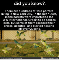 Amazon, Apple, and Facebook: did you know?  There are hundreds of wild parrots  living in New York City. In the late 1960s,  monk parrots were imported to the  JFK International Airport to be sold as  pets, but some of them escaped their  crates, adapted, and started nesting  all over Queens.  PHOTO: BROOKLYNPARROTS.COM  DIDYOUKNOWFACTS.COM Let the parrots do their thing. 💯 parrots newyorl funny pet animal 📢 Share the knowledge! Tag your friends in the comments. ➖➖➖➖➖➖➖➖➖➖➖ Want more Did You Know(s)? ➡📓 Buy our book on Amazon: [LINK IN BIO] ➡📱 Download our App: http:-apple.co-2i9iX0u ➡📩 Get daily text message alerts: http:-Fact-Snacks.com ➡📩 Free email newsletter: http:-DidYouKnowFacts.com-Sign-Up- ➖➖➖➖➖➖➖➖➖➖➖ We post different content across our channels. Follow us so you don't miss out! 📍http:-facebook.com-didyouknowblog 📍http:-twitter.com-didyouknowfacts ➖➖➖➖➖➖➖➖➖➖➖ DYN FACTS TRIVIA TIL DIDYOUKNOW NOWIKNOW