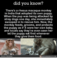 Love this 😆💗  ➡📱 Download our free App: https://itunes.apple.com/us/app/did-you-know-blog/id1136268619: did you know?  There's a rhesus macaque monkey  in India that adopted its own puppy.  When the pup was being attacked by  stray dogs on  day, she immediately  swooped in to rescue him. Now, the  monkey feeds, grooms, and protects  the puppy as if it were her own baby,  and locals say they've even seen her  let the puppy eat first whenever  they give them food.  PHOTO: THE DODO  DIDYOUKNOWFACTS.COM Love this 😆💗  ➡📱 Download our free App: https://itunes.apple.com/us/app/did-you-know-blog/id1136268619