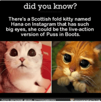 Love at first sight 😩❤️ cute hana cats catsofinstagram pussinboots ➡📱Download our free App: [LINK IN BIO]: did you know?  There's a Scottish fold kitty named  Hana on Instagram that has such  big eyes, she could be the live-action  version of Puss in Boots.  pipYouKNowFACTs.coM  PHOTO INSTAGRAM, AHANA KITTYDREAMWORKS Love at first sight 😩❤️ cute hana cats catsofinstagram pussinboots ➡📱Download our free App: [LINK IN BIO]