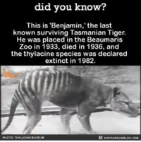 RIP Benjamin.: did you know?  This is 'Benjamin,' the last  known surviving Tasmanian Tiger.  He was placed in the Beaumaris  Zoo in 1933, died in 1936, and  the thylacine species was declared  extinct in 1982.  PHOTO  NEMUSEUM RIP Benjamin.