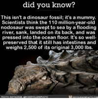 Af, Amazon, and Andrew Bogut: did you know?  This isn't a dinosaur fossil; it's a mummy.  Scientists think the 110 million-year-old  nodosaur was swept to sea by a flooding  river, sank, landed on its back, and was  pressed into the ocean floor. It's so well-  preserved that it still has intestines and  weighs 2,500 of its original 3,000 lbs.  PHOTO: INSTAGRAM, @ROBERTCLARKPHOTO  DIDYOUKNOWFACTS.COM Creepy AF! 🐊 mummy wow dinosaur science 📢 Share the knowledge! Tag your friends in the comments. ➖➖➖➖➖➖➖➖➖➖➖ Want more Did You Know(s)? ➡📓 Buy our book on Amazon: [LINK IN BIO] ➡📱 Download our App: http:-apple.co-2i9iX0u ➡📩 Get daily text message alerts: http:-Fact-Snacks.com ➡📩 Free email newsletter: http:-DidYouKnowFacts.com-Sign-Up- ➖➖➖➖➖➖➖➖➖➖➖ We post different content across our channels. Follow us so you don't miss out! 📍http:-facebook.com-didyouknowblog 📍http:-twitter.com-didyouknowfacts ➖➖➖➖➖➖➖➖➖➖➖ DYN FACTS TRIVIA TIL DIDYOUKNOW NOWIKNOW