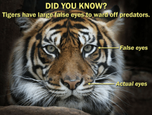 Facts, Target, and True: DID YOU KNOw?  Tigers have large false eyes to ward off predators.  - False eyes  Actual eyes beyoncescock:  thebootydiaries:  misspaperlilies:  neilcicierega:  amazing  is this true  of course it's true it literally says it right there??  don't question the facts