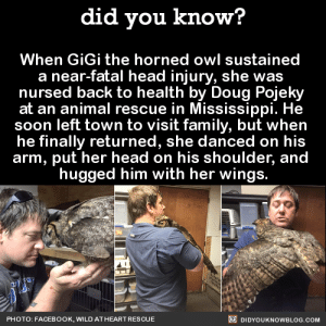 "wingedpredators: birds-and-pizza:  talons-mcbeak:  did-you-kno:  When GiGi the horned owl sustained  a near-fatal head injury, she was  nursed back to health by Doug Pojeky  at an animal rescue in Mississippi. When Doug was growing up, a great horned owl used to perch on the top of his family barn. His father saw the owl often, but he and the rest of his family rarely did. However, on the morning of his father's death, the owl was spotted overlooking the farm house, where Pojeky's father had passed away, before flying off into the woods. ""For some reason when that bird was hugging me, all I could think of was my dad."" Source Source 2  no no no no no this owl is not a happy owl this owl is an injured, weak owl with a head injury this owl is not displaying appropriate owl behaviors and is ill-equipped for life as a wild owl. this owl should be trying to escape and/or murder this man because that is just what owls do, especially great horned owls apparently this owl got released which really alarmed me because either she made a miraculous recovery or she was completely not in any way ready for release and doesn't have great chances of survival believe me, i wish owls were all cuddly sweethearts who gave hugs and appreciated our care but that is so very much not reality. even the sweetest owl i know - who is the light of my life and a joy to work with - likes to murder stuff and will hiss and threaten you if he doesn't trust you or wants you to gtfo. and when i say ""sweetest owl"" basically i just mean that he's bonded to his two main trainers and is comfortable with us but if you ask anyone else he's a grouchy old man with sharp talons. because he's an owl. he's not a snuggly pet. and he's a 14-year-old captive-bred barn owl who has lived with humans and been an education bird his whole life, not a wild great horned owl who is clearly injured and having a shitty week of being grabbed and handled by giant mammals. this great horned owl is not a happy owl and it certainly isn't feeling any sort of gratitude. mostly she's too sick/injured to have enough energy to defend herself or hold her wings up or keep her eyes open. when wild animals get released it's nice to think that they are silently thanking us for saving them, but that's what we don't want. we want them to be ready for life in the wild, which means we want them to hate us and want to avoid humans forever, because that gives them the best chance of survival. the best thanks you can get from a rehabilitated wild animal is when they fly/run/swim the fuck away from you as soon as you open the cage and never look back. those are the successes.  I can preach what @talons-mcbeak said  This owl obviously is not aware of anything that is going on and is showing signs of a very very serious head injury (trust me, I've seen my fair share). You can see in the gif she attempted to bite him. She is just too weak and sick to be able to stop this person from manhandling her.  This man is not handling this bird right at all, and wild great horned owls are never friendly.  That owl should not be put into those positions or used to promote such a disgusting lie by a man who obviously doesn't know what he's doing.  It is a wild animal not a domestic. Do not believe this bullshit story!   This! This 100 times over! UGH. I keep seeing this owl picture and story passed around on Facebook, Tumblr, etc. with captions of 'awwwww' and 'Cute!' and so forth. No. It's not 'cute'.  That owl is so unfit to be released and weak and probably in high states of stress. Anyone who knows the slightest thing about owl behaviour knows that this is not a 'thankful' or 'happy animal'. Owls can't even feel any love-related emotions to humans. Period. Please share the truth about this story. The above two comments say a lot. :/ Shame on that 'rehabber' for passing on such false information and for treating that poor injured owl in such a way. : did you know?  When GiGi the horned owl sustained  a near-fatal head injury, she was  nursed back to health by Doug Pojeky  at an animal rescue in Mississippi. He  soon left town to visit family, but when  he finally returned, she danced on his  arm, put her head on his shoulder, and  hugged him with her wings.  PHOTO: FACEBOOK, WILD AT HEART RES CUE  DIDYOUKNOWBLOG.COM wingedpredators: birds-and-pizza:  talons-mcbeak:  did-you-kno:  When GiGi the horned owl sustained  a near-fatal head injury, she was  nursed back to health by Doug Pojeky  at an animal rescue in Mississippi. When Doug was growing up, a great horned owl used to perch on the top of his family barn. His father saw the owl often, but he and the rest of his family rarely did. However, on the morning of his father's death, the owl was spotted overlooking the farm house, where Pojeky's father had passed away, before flying off into the woods. ""For some reason when that bird was hugging me, all I could think of was my dad."" Source Source 2  no no no no no this owl is not a happy owl this owl is an injured, weak owl with a head injury this owl is not displaying appropriate owl behaviors and is ill-equipped for life as a wild owl. this owl should be trying to escape and/or murder this man because that is just what owls do, especially great horned owls apparently this owl got released which really alarmed me because either she made a miraculous recovery or she was completely not in any way ready for release and doesn't have great chances of survival believe me, i wish owls were all cuddly sweethearts who gave hugs and appreciated our care but that is so very much not reality. even the sweetest owl i know - who is the light of my life and a joy to work with - likes to murder stuff and will hiss and threaten you if he doesn't trust you or wants you to gtfo. and when i say ""sweetest owl"" basically i just mean that he's bonded to his two main trainers and is comfortable with us but if you ask anyone else he's a grouchy old man with sharp talons. because he's an owl. he's not a snuggly pet. and he's a 14-year-old captive-bred barn owl who has lived with humans and been an education bird his whole life, not a wild great horned owl who is clearly injured and having a shitty week of being grabbed and handled by giant mammals. this great horned owl is not a happy owl and it certainly isn't feeling any sort of gratitude. mostly she's too sick/injured to have enough energy to defend herself or hold her wings up or keep her eyes open. when wild animals get released it's nice to think that they are silently thanking us for saving them, but that's what we don't want. we want them to be ready for life in the wild, which means we want them to hate us and want to avoid humans forever, because that gives them the best chance of survival. the best thanks you can get from a rehabilitated wild animal is when they fly/run/swim the fuck away from you as soon as you open the cage and never look back. those are the successes.  I can preach what @talons-mcbeak said  This owl obviously is not aware of anything that is going on and is showing signs of a very very serious head injury (trust me, I've seen my fair share). You can see in the gif she attempted to bite him. She is just too weak and sick to be able to stop this person from manhandling her.  This man is not handling this bird right at all, and wild great horned owls are never friendly.  That owl should not be put into those positions or used to promote such a disgusting lie by a man who obviously doesn't know what he's doing.  It is a wild animal not a domestic. Do not believe this bullshit story!   This! This 100 times over! UGH. I keep seeing this owl picture and story passed around on Facebook, Tumblr, etc. with captions of 'awwwww' and 'Cute!' and so forth. No. It's not 'cute'.  That owl is so unfit to be released and weak and probably in high states of stress. Anyone who knows the slightest thing about owl behaviour knows that this is not a 'thankful' or 'happy animal'. Owls can't even feel any love-related emotions to humans. Period. Please share the truth about this story. The above two comments say a lot. :/ Shame on that 'rehabber' for passing on such false information and for treating that poor injured owl in such a way."