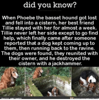 Memes, 🤖, and App: did you know?  When Phoebe the basset hound got lost  and fell into a cistern, her best friend  Tillie stayed with her for almost a  week.  Tillie never left her side except to go find  help, which finally came after someone  reported that a dog kept coming up to  them, then running back to the ravine.  The dogs were found, they reunited with  their owner, and he destroyed the  cistern with a jackhammer. ❤️😭❤️😭❤️😭 wow dogs cute love ➡📱Download our free App: [LINK IN BIO]