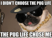 funny pug pictures: DIDN'T CHOOSE THE PUG LIFE  THE PUG LIFE CHOSE ME