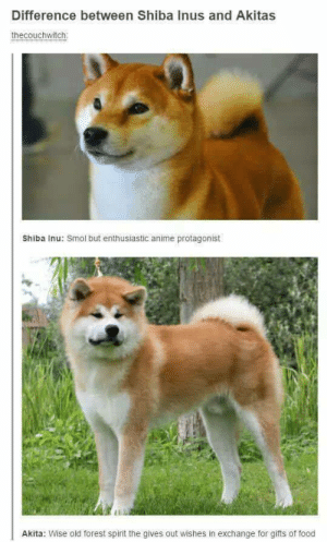 Anime, Doge, and Food: Difference between Shiba Inus and Akitas  thecouchwitch  Shiba Inu: Smol but enthusiastic anime protagonist  Li  Akita: Wise old forest spirit the gives out wishes in exchange for gifts of food Smol Doge vs. Big Doge
