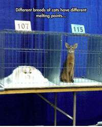Cats, Memes, and 🤖: Different breeds of cats have different  melting points...  107  115 The science of cats :3