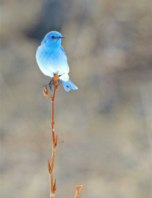 Different shades of blue on a Mountain Bird: Different shades of blue on a Mountain Bird