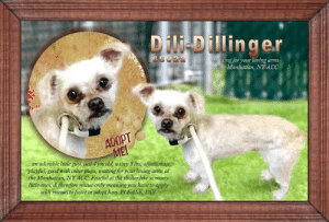 Animals, Apparently, and Cats: Dili-Dillinger  65022  witing for your loving arms  wethe Manhattan, NY ACC  ADOPT  MEI  ... an adorable little guy, just 4 yrs old, a tiny 8 lbs, affectionate,  playful, good with other pups, waiting for your loving arms at  the Manhatan, NY ACC Fearful at the shelter like so many  little ones, & therefore rescue-only meaning you have to apply  with rescues to foster or adopt him. PLEASE, DO! **FOSTER or ADOPTER NEEDED ASAP** Dili-Dillinger 65022... an adorable little guy, just 4 yrs old, a tiny 8 lbs, affectionate, playful, good with other pups, waiting for your loving arms at the Manhattan, NY ACC. Fearful at the shelter like so many little ones, & therefore rescue-only meaning you have to apply with rescues to foster or adopt him. PLEASE, DO!   ✔Pledge✔Tag✔Share✔FOSTER✔ADOPT✔Save a life!  Dili-Dillinger 65022 Small Mixed Breed Sex male Age 4 yrs (approx.) - 8 lbs  My health has been checked.  My vaccinations are up to date. My worming is up to date.  I have been micro-chipped.   I am waiting for you at the Manhattan, NY ACC. Please, Please, Please, save me!  **************************************** *** TO FOSTER OR ADOPT ***   If you would like to adopt a NYC ACC dog, and can get to the shelter in person to complete the adoption process, you can contact the shelter directly. We have provided the Brooklyn, Staten Island and Manhattan information below. Adoption hours at these facilities is Noon – 8:00 p.m. (6:30 on weekends)  If you CANNOT get to the shelter in person and you want to FOSTER OR ADOPT a NYC ACC Dog, you can PRIVATE MESSAGE our Must Love Dogs - Saving NYC Dogs page for assistance. PLEASE NOTE: You MUST live in NY, NJ, PA, CT, RI, DE, MD, MA, NH, VT, ME or Northern VA. You will need to fill out applications with a New Hope Rescue Partner to foster or adopt a NYC ACC dog. Transport is available if you live within the prescribed range of states.  Shelter contact information: Phone number (212) 788-4000 Email adopt@nycacc.org  Shelter Addresses: Brooklyn Shelter: 2336 Linden Boulevard Brooklyn, NY 11208 Manhattan Shelter: 326 East 110 St. New York, NY 10029 Staten Island Shelter: 3139 Veterans Road West Staten Island, NY 10309 **************************************  DVM Intake Exam Estimated age: 3-4y Microchip noted on Intake? no History: stray Observed Behavior - snapping at leash, snapping at towel, lunging at handlers, very fearful. Sedated for exam: 0.07ml torb (10mg/ml), 0.15ml dexdom (0.5mg/ml), 0.07 midazolam (5mg/ml) IM Evidence of Cruelty seen -no Evidence of Trauma seen -no Objective  T = P = wnl for sedation R = wnl for sedation BCS 4/9 EENT: Eyes clear, ears clean, no nasal or ocular discharge noted Oral Exam: muzzled during exam PLN: No enlargements noted H/L: NSR, NMA, Lungs clear, eupnic ABD: Non painful, no masses palpated U/G: male intact, 2 testes palpable MSI: Ambulatory x 4, skin free of parasites, no masses noted, healthy hair coat CNS: Mentation appropriate - no signs of neurologic abnormalities Rectal: normal external  Assessment: Apparently healthy  SURGERY: Okay for surgery   Stray (Information from finder) Previously lived with: Adults and a dog Behavior toward strangers: Shy and fearful Behavior toward children: Affectionate and playful with a 5 and 6 year old he knew Behavior toward dogs: Affectionate and respectful with the dog in the home Behavior toward cats: Tolerant Resource guarding: None reported Energy level/descriptors: Dill-Dillinger is described as having a medium level of activity. Other Notes: Dill-Dillinger will snap when startled.   IN SHELTER OBSERVATIONS: Dili-Dilinger has been very fearful at the care center. Today, while in his kennel, he took treats from the handler but bared teeth whenever the leash was present. He took a few treats through the loop of the leash but retreated when the leash was moved closer. Throughout this interaction, he had a tense body, was trembling and lip licking.   BEHAVIOR DETERMINATION: NHO Behavior Asilomar TM - Treatable-Manageable  Recommendations: No children (under 13) Place with a New Hope partner Recommendations comments: No children (under 13): Due to Dili Dilinger's overall level of fear, we feel he would be best set up to succeed in an adult only home. Place with a New Hope partner: Dili Dilinger remains highly fearful in the care center, he allows only minimal handling and escalates to growling, baring teeth and lip curling upon approach. We feel he would be best set up to succeed in if placed with an experienced rescue partner, force-free, reward based training only is advised when introducing or exposing Dili Dilinger to new and unfamiliar situations.   Potential challenges: Fearful/potential for defensive aggression Potential challenges comments: Dili Dilinger remains fearful in the care center and has escalated to growling, baring teeth and snapping. Please see handout on Fearful and defensive aggression. ... NOTE:  *** WE HAVE NO OTHER INFORMATION THAN WHAT IS LISTED WITH THIS FLYER *** ... RE: ACC site Just because a dog is not on the ACC site does NOT necessarily mean safe. There are many reasons for this like a hold or an eval has not been conducted yet or the dog is rescue-only... the list goes on... Please, do share & apply to foster/adopt these pups as well until their thread is updated with their most current status. TY! ****************************************** About Must Love Dogs - Saving NYC Dogs: We are a group of advocates (NOT a shelter NOR a rescue group) dedicated to finding loving homes for NYC dogs in desperate need. ALL the dogs on our site need Rescue, Fosters, or Adopters & that ASAP as they are in NYC high-kill shelters. If you cannot foster or adopt, please share them far & wide. Thank you for caring!! <3 ****************************************** RESCUES: * Indicates New Hope Rescue partner is accepting applications for fosters and/or adopters. http://www.nycacc.org/get-involved/new-hope/nhpartners ****************************************** https://nycaccpets.shelterbuddy.com/animal/animalDetails.asp?task=search&advanced=1&rspca_id=65022&animalType=1%2C2%2C15%2C3%2C16%2C15%2C16%2C86%2C79&datelostfoundmonth=6&datelostfoundday=1&datelostfoundyear=2019&find-submitbtn=Find+Animals&tpage=1&searchType=2&animalid=98953 Beamer Maximillian Carolin Hocker Caro Hocker