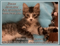 ADOPT A KITTEN: DINAH! Foster Mom: Brenna Email: cnb.richards@gmail.com  Dinah is a nine-weeks-old, female, brown and white striped, Domestic Shorthair mix currently in Tri-Valley Animal Rescue foster care and would love to be adopted by you. Dinah would love to be with someone who will love her forever as she will instantly purr for you. For some fun, she would like someone to toss jingle balls for her to chase, and purchase a ball track to keep her busy for hours of fun.  From this Monday, July 3rd through Tuesday July 4th her kitten adoption fees will be waived. Tri-Valley Animal Rescue standard adoption screening still applies. Fenway has been neutered, microchipped, current on vaccinations, tested negative for FeLV and FIV, preventively treated for worms and fleas, and litter box trained.  To meet Dinah, please contact her foster mom Brenna at 925-577-9140 or if interested in adopting a fluffy warm kitten, please email a complete Tri-Valley Animal Rescue Cat Application seen at http://tvar.org/rpimages/tvar_CatApp.pdf to cnb.richards@gmail.com.: DINAtH  FOR ADORTION!  577-9140 OR CNB.RICHARDS (@eMAn, COM ADOPT A KITTEN: DINAH! Foster Mom: Brenna Email: cnb.richards@gmail.com  Dinah is a nine-weeks-old, female, brown and white striped, Domestic Shorthair mix currently in Tri-Valley Animal Rescue foster care and would love to be adopted by you. Dinah would love to be with someone who will love her forever as she will instantly purr for you. For some fun, she would like someone to toss jingle balls for her to chase, and purchase a ball track to keep her busy for hours of fun.  From this Monday, July 3rd through Tuesday July 4th her kitten adoption fees will be waived. Tri-Valley Animal Rescue standard adoption screening still applies. Fenway has been neutered, microchipped, current on vaccinations, tested negative for FeLV and FIV, preventively treated for worms and fleas, and litter box trained.  To meet Dinah, please contact her foster mom Brenna at 925-577-9140