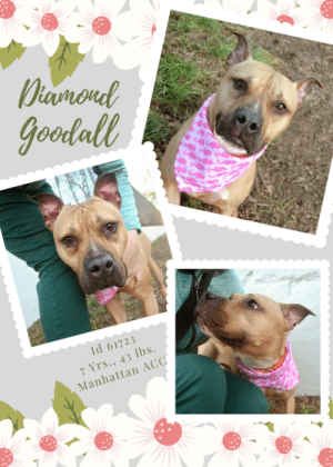 """Being Alone, Animals, and Apparently: Dinmond  goodall  Id 61723  7 Yrs., 43 lbs  Manhattan ACC TO BE KILLED - 7/2/2019  Diamond Goodall? More like GoodGIRL!   I'm shy, I'm pretty, I'm unique I'm affectionate. My favorite activity is playing fetch with children and running around the park. When in the house I follow people around and enjoy being in the same room with them. My favorite toys are balls, stuffed animals, and chew bones. My favorite games are fetch, chase, and tug. I'm housebroken, I love long walks, I previously lived with 2 adults, 2 children and 1 dog. But they betrayed me, and now I'm alone and lonely and dreaming of a new family to love me forever.  A volunteer writes: """"Diamond Goodall is just as precious and well-behaved as her name suggests, a gentle family dog whose affectionate heart opens up more and more each day. Keen to explore the park and meet new four-legged friends, she walks like a champ on leash, seems very house trained and is always ready to show off her impeccable sitting skills for a tasty treat. I was lucky enough to share some snuggles with Diamond during our photo shoot, and she gave me thank you kisses in return--too cute! We've yet to see this shy beauty's silly side at the Care Center, but we're told her hobbies include playing fetch with the kids and running around the park, that her favorite toys are balls and stuffed animals, and her favorite games are fetch, chase and tug. A priceless treasure just waiting to be polished to her brightest self by the unconditional love of a forever family, Diamond Goodall can't wait to go home sweet home. Look for this hidden gem at our Manhattan Care Center today.  MY MOVIE Diamond Goodall <3 https://youtu.be/_UrvaRHYCuM  DIAMOND GOODALL, ID# 61723, 7 Yrs., 43 lbs., Spayed Female Manhattan ACC, Medium Mixed Breed, Tan / White  Owner Surrender Reason:  Shelter Assessment Rating: LEVEL 3 No children (under 13) Recommend no dog parks Medical Behavior Rating: Yellow  OWNER SURRENDER NOTES - B"""