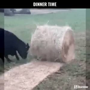 Funny, Memes, and Videos: DINNER TIME  S Stumbler RT @StumblerFunny: For more funny videos follow @StumblerFunny or visit https://t.co/wXxwph26cH https://t.co/bs3AXKlrs4