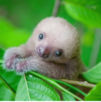 Rescued baby sloths is cuteness overload! <3 #diplyvideo: Diply Rescued baby sloths is cuteness overload! <3 #diplyvideo