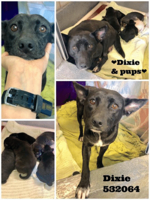 **FOSTER RESCUE ONLY- MOM W/ 6 PUPS**  532064 Dixie (aka Celia) & 6 puppies. Dixie is such a good mom to her six babies. She loves on them and will even let you picked them up. Dixie is potty trained and will let you know when she has to go. Dixie and her babies are in need of a foster parent who can care for them until they are old enough to find their very own families. Dixie is around 7 years old and weighs about 35 lbs.   ADOPTERS PLEASE EMAIL: acsadoptions@sanantonio.gov FOSTERS/RESCUES PLEASE EMAIL: placement@sanantoniopetsalive.org or acsrescue-foster@sanantonio.gov  THIS DOG IS IN ACS KENNELS & ON THE EUTHANAISA LIST. SHELTER EVALUATES SPACE AT: 9:30am Mon-Sat, and again at 5pm Mon-Fri & 3pm Sat.  PLEASE NOTE: San Antonio Pets Alive! is not the city municipal shelter, we plea out the urgent dogs at risk of euthanasia to other rescues, adopters and fosters to save their life.: Dizie  & pups  Dizie  532064 **FOSTER RESCUE ONLY- MOM W/ 6 PUPS**  532064 Dixie (aka Celia) & 6 puppies. Dixie is such a good mom to her six babies. She loves on them and will even let you picked them up. Dixie is potty trained and will let you know when she has to go. Dixie and her babies are in need of a foster parent who can care for them until they are old enough to find their very own families. Dixie is around 7 years old and weighs about 35 lbs.   ADOPTERS PLEASE EMAIL: acsadoptions@sanantonio.gov FOSTERS/RESCUES PLEASE EMAIL: placement@sanantoniopetsalive.org or acsrescue-foster@sanantonio.gov  THIS DOG IS IN ACS KENNELS & ON THE EUTHANAISA LIST. SHELTER EVALUATES SPACE AT: 9:30am Mon-Sat, and again at 5pm Mon-Fri & 3pm Sat.  PLEASE NOTE: San Antonio Pets Alive! is not the city municipal shelter, we plea out the urgent dogs at risk of euthanasia to other rescues, adopters and fosters to save their life.