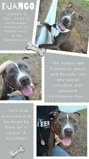 "INTAKE DATE- 6/6/2019  Django - dapper, daring, dazzling handsome hunk – and only 12 months old!  A volunteer writes:  ""The D may be silent but I'm pretty sure it stands for dapper! Just look at his perfect markings and sunny smile and tell me Django isn't the handsomest hunk you've ever seen? Perhaps it's D for daring, because he makes new friends so easily and bounds into any social situation with absolute confidence that he'll love everyone and be loved by them all in return. Playgroup is Django's favorite and while he enjoys being petted, treated and walked by us humans, this silly boy really comes to life among his peers and would thrive in a home where he has other big, friendly pups to play with. He already knows how to come, sit and get 'up' on command and seems very house trained as well. Django could use a little polish when it comes to leash manners but a harness does the trick and once he's tuckered out he actually walks like a proper gentleman...until he sees a new four-legged friend that is! As they say, a tired dog is a happy dog and dapper, daring, dazzling Django can't wait to find an active family who'll give him a chance to end every day with a well-earned smile.""  If you can give this hunky, happy guy a home, you need to MESSAGE our page or email us at MustLoveDogsNYC@gmail.com for assistance.  MY MOVIES:  Django - the ultimate playmate @ MACC https://youtu.be/rOyjvgZHC6k  Django and Dolly in Playgroup https://youtu.be/qZk5jBPUExI  DJANGO, ID# 65033, 1 yr old, 59 lbs, Unaltered Male Manhattan ACC, Large Mixed Breed, Gray / White    Surrender Reason:  Found Stray  Shelter Assessment Rating:  LEVEL 3 Medical Behavior Rating:     SHELTER ASSESSMENT SUMMARIES: Date of assessment: 6-Jun-2019   Leash Walking Strength and pulling: Moderate Reactivity to humans: None Reactivity to dogs: None Leash walking comments: None  Sociability Loose in room (15-20 seconds): Highly social Call over: Approaches readily Sociability comments: Body soft, jumps up  Handling  Soft handling: Accepts contact Exuberant handling: Accepts contact Comments: Body soft  Arousal Jog: Engages in play (exuberant) Arousal comments: began to mouth assessors jackets and arms  Knock: Approaches (loose) Knock Comments: None  Toy: Grips, relinquishes Toy comments: None  PLAYGROUP NOTES - DOG TO DOG SUMMARIES:  Django may be most compatible with other dogs who match his exuberant play style.  6/6: When introduced off leash to the female greeter dog, Django is playful and social.  6/7: Django is soft with male and female dogs today but corrects for play solicitation.   6/8-6/9: Django engages in vocal play today with female dogs.   6/22-PRESENT: Django engages in exuberant play.  INTAKE BEHAVIOR: Date of intake: 5-Jun-2019 Summary: Whining, panting, social, allowed handling  ENERGY LEVEL: We have no history on Django so we cannot be certain of his behavior in a home environment. However, he is a young, enthusiastic, social dog who will need daily mental and physical activity to keep him engaged and exercised. We recommend long-lasting chews, food puzzles, and hide-and-seek games, in additional to physical exercise, to positively direct his energy and enthusiasm.  BEHAVIOR DETERMINATION: Level 3 Behavior Asilomar TM - Treatable-Manageable  Recommendations:  No children (under 13) Recommendations comments:  No children: At the care center, Django displays a low threshold for arousal, becoming jumpy and mouthy when he gets excited. For this reason, ee recommend an adult-only home for Django.  Potential challenges:  Mouthiness/poor bite inhibition, Low threshold for arousal Potential challenges comments:  Mouthiness/poor bite inhibition: At the care center, Django becomes mouthy when he gets over-aroused. Please see handout on Mouthiness/poor bite inhibition.  Low threshold for arousal: At the care center, Django displays a low threshold for arousal, quickly becoming jumpy and mouthy towards the assessors jacket and arms during the jog portion of the handling assessment. Please see handout on Low threshold for arousal.  MEDICAL EXAM NOTES   22-Jun-2019 Progress Exam.  SO:  on rounds recheck CIRDC.  BAR no nasal d/c coughing or sneezing.  Assessment:  CIRDC resolved.  Plan:  monitor for recurrence.  18-Jun-2019 Progress Exam.  SO:  Recheck CIRDC day 7. BAR in kennel. P has excellent appetite.  EN -- coughing, mucoid nasal discharge.   Assessment:  CIRDC.  Plan:  doxycycline 100mg tablet -- give 300mg PO q24h x 10 days.  12-Jun-2019 Spay-Neuter Waiver Documentation.  [Spay/Neuter Waiver - Temporary].  Your newly adopted pet has been diagnosed with CIRDC and the staff veterinarians are issuing a TEMPORARY waiver from the spay/neuter requirements of the City of NY. Follow up care at your regular veterinarian is recommended to ensure continued treatment through to the resolution of the issue. At the time of a full recovery you may choose to have your veterinarian perform the spay/neuter surgery, or make provisions to return the pet to ACC for sterilization.  Hx: Scheduled for neuter today.  Subjective: Alert, wagging tail, walks well on leash. Focusing on cat that is in the exam room.  Objetive: BAR-H, BCS 4.5/9, MMs pink and moist.  EENT: Mild serous nasal discharge, mild mucoid ocular discharge.  Clean ears.  PLNs: Not significantly enlarged.  H/L: NSR, NMA. Eupnic. Repeated sneezing. Quiet lung sounds.  Abd: Soft, no pain on palpation, no masses palpated.  M/S/I: Amb x4. No skin lesions noted.  UG: Male intact, testicles soft and symmetrical.  Neuro: Alert and appropriate, no sign neurological deficiencies.  Assessment:  CIRDC likely.  Plan: Do not neuter today. Move to isolation.  1. Enrofloxacin 204 mg tabs, 1 and 1/3 PO SID x14 days.  2. Cerenia 60 mg PO SID x4 days.  6-Jun-2019 DVM Intake Exam.  Estimated age: 1.  Microchip noted on Intake? N.  Microchip Number (If Applicable): n.  History : Stray.  Subjective: BAR, euhydrated, MM pink/moist, CRT.  Observed Behavior: wagging tail; accepting treats; loose body; allowed for full PE.  Evidence of Cruelty seen – N.  Evidence of Trauma seen – N.  Objective:  T = -, P = wnl, R = wnl, EENT: Anterior chambers clear OU; no corneal defects; no ocular or nasal discharge; no oral masses or ulcerations seen.  Oral Exam: teeth in good cond – no calculus; no staining; all permanent teeth present.  PLN: No enlargements noted.  H/L: No murmurs or arrhythmias; strong, synchronous femoral pulses bilaterally; Eupneic; normal bronchovesicular sounds in all fields; no crackles/wheezes.  ABD: Non painful, no masses palpated.  U/G: two descended testicles.  MSI: BCS 5/9 ; Ambulatory x 4 with no lameness, skin free of parasites, no masses noted, healthy hair coat.  CNS: Appropriate mentation; no cranial nerve deficits; no proprioceptive deficits; no ataxia.  Rectal: externally normal.  Assessment: Healthy.  SURGERY:  Okay for surgery.  Prognosis: Excellent.    *** TO FOSTER OR ADOPT ***   If you would like to adopt a NYC ACC dog, and can get to the shelter in person to complete the adoption process, you can contact the shelter directly. We have provided the Brooklyn, Staten Island and Manhattan information below. Adoption hours at these facilities is Noon – 8:00 p.m. (6:30 on weekends)  If you CANNOT get to the shelter in person and you want to FOSTER OR ADOPT a NYC ACC Dog, you can PRIVATE MESSAGE our Must Love Dogs page for assistance. PLEASE NOTE: You MUST live in NY, NJ, PA, CT, RI, DE, MD, MA, NH, VT, ME or Northern VA. You will need to fill out applications with a New Hope Rescue Partner to foster or adopt a NYC ACC dog. Transport is available if you live within the prescribed range of states.  Shelter contact information: Phone number (212) 788-4000 Email adopt@nycacc.org  Shelter Addresses: Brooklyn Shelter: 2336 Linden Boulevard Brooklyn, NY 11208 Manhattan Shelter: 326 East 110 St. New York, NY 10029 Staten Island Shelter: 3139 Veterans Road West Staten Island, NY 10309  *** NEW NYC ACC RATING SYSTEM ***  Level 1 Dogs with Level 1 determinations are suitable for the majority of homes. These dogs are not displaying concerning behaviors in shelter, and the owner surrender profile (where available) is positive.   Level 2  Dogs with Level 2 determinations will be suitable for adopters with some previous dog experience. They will have displayed behavior in the shelter (or have owner reported behavior) that requires some training, or is simply not suitable for an adopter with minimal experience.   Level 3 Dogs with Level 3 determinations will need to go to homes with experienced adopters, and the ACC strongly suggest that the adopter have prior experience with the challenges described and/or an understanding of the challenge and how to manage it safely in a home environment. In many cases, a trainer will be needed to manage and work on the behaviors safely in a home environment.: DJANGO  id 65033, 12  Mos., 59 lbs of  Joyful puppy.  Waiting for his  Perfect Family  at the  Manhattan ACC  ""He makes new  friends so  easily  and bounds into  any social  situation with  absolute  confidence that...  ...he'll love  everyone and  be loved by  EER  them all in  mycaon  return"" A  Volunteer INTAKE DATE- 6/6/2019  Django - dapper, daring, dazzling handsome hunk – and only 12 months old!  A volunteer writes:  ""The D may be silent but I'm pretty sure it stands for dapper! Just look at his perfect markings and sunny smile and tell me Django isn't the handsomest hunk you've ever seen? Perhaps it's D for daring, because he makes new friends so easily and bounds into any social situation with absolute confidence that he'll love everyone and be loved by them all in return. Playgroup is Django's favorite and while he enjoys being petted, treated and walked by us humans, this silly boy really comes to life among his peers and would thrive in a home where he has other big, friendly pups to play with. He already knows how to come, sit and get 'up' on command and seems very house trained as well. Django could use a little polish when it comes to leash manners but a harness does the trick and once he's tuckered out he actually walks like a proper gentleman...until he sees a new four-legged friend that is! As they say, a tired dog is a happy dog and dapper, daring, dazzling Django can't wait to find an active family who'll give him a chance to end every day with a well-earned smile.""  If you can give this hunky, happy guy a home, you need to MESSAGE our page or email us at MustLoveDogsNYC@gmail.com for assistance.  MY MOVIES:  Django - the ultimate playmate @ MACC https://youtu.be/rOyjvgZHC6k  Django and Dolly in Playgroup https://youtu.be/qZk5jBPUExI  DJANGO, ID# 65033, 1 yr old, 59 lbs, Unaltered Male Manhattan ACC, Large Mixed Breed, Gray / White    Surrender Reason:  Found Stray  Shelter Assessment Rating:  LEVEL 3 Medical Behavior Rating:     SHELTER ASSESSMENT SUMMARIES: Date of assessment: 6-Jun-2019   Leash Walking Strength and pulling: Moderate Reactivity to humans: None Reactivity to dogs: None Leash walking comments: None  Sociability Loose in room (15-20 seconds): Highly social Call over: Approaches readily Sociability comments: Body soft, jumps up  Handling  Soft handling: Accepts contact Exuberant handling: Accepts contact Comments: Body soft  Arousal Jog: Engages in play (exuberant) Arousal comments: began to mouth assessors jackets and arms  Knock: Approaches (loose) Knock Comments: None  Toy: Grips, relinquishes Toy comments: None  PLAYGROUP NOTES - DOG TO DOG SUMMARIES:  Django may be most compatible with other dogs who match his exuberant play style.  6/6: When introduced off leash to the female greeter dog, Django is playful and social.  6/7: Django is soft with male and female dogs today but corrects for play solicitation.   6/8-6/9: Django engages in vocal play today with female dogs.   6/22-PRESENT: Django engages in exuberant play.  INTAKE BEHAVIOR: Date of intake: 5-Jun-2019 Summary: Whining, panting, social, allowed handling  ENERGY LEVEL: We have no history on Django so we cannot be certain of his behavior in a home environment. However, he is a young, enthusiastic, social dog who will need daily mental and physical activity to keep him engaged and exercised. We recommend long-lasting chews, food puzzles, and hide-and-seek games, in additional to physical exercise, to positively direct his energy and enthusiasm.  BEHAVIOR DETERMINATION: Level 3 Behavior Asilomar TM - Treatable-Manageable  Recommendations:  No children (under 13) Recommendations comments:  No children: At the care center, Django displays a low threshold for arousal, becoming jumpy and mouthy when he gets excited. For this reason, ee recommend an adult-only home for Django.  Potential challenges:  Mouthiness/poor bite inhibition, Low threshold for arousal Potential challenges comments:  Mouthiness/poor bite inhibition: At the care center, Django becomes mouthy when he gets over-aroused. Please see handout on Mouthiness/poor bite inhibition.  Low threshold for arousal: At the care center, Django displays a low threshold for arousal, quickly becoming jumpy and mouthy towards the assessors jacket and arms during the jog portion of the handling assessment. Please see handout on Low threshold for arousal.  MEDICAL EXAM NOTES   22-Jun-2019 Progress Exam.  SO:  on rounds recheck CIRDC.  BAR no nasal d/c coughing or sneezing.  Assessment:  CIRDC resolved.  Plan:  monitor for recurrence.  18-Jun-2019 Progress Exam.  SO:  Recheck CIRDC day 7. BAR in kennel. P has excellent appetite.  EN -- coughing, mucoid nasal discharge.   Assessment:  CIRDC.  Plan:  doxycycline 100mg tablet -- give 300mg PO q24h x 10 days.  12-Jun-2019 Spay-Neuter Waiver Documentation.  [Spay/Neuter Waiver - Temporary].  Your newly adopted pet has been diagnosed with CIRDC and the staff veterinarians are issuing a TEMPORARY waiver from the spay/neuter requirements of the City of NY. Follow up care at your regular veterinarian is recommended to ensure continued treatment through to the resolution of the issue. At the time of a full recovery you may choose to have your veterinarian perform the spay/neuter surgery, or make provisions to return the pet to ACC for sterilization.  Hx: Scheduled for neuter today.  Subjective: Alert, wagging tail, walks well on leash. Focusing on cat that is in the exam room.  Objetive: BAR-H, BCS 4.5/9, MMs pink and moist.  EENT: Mild serous nasal discharge, mild mucoid ocular discharge.  Clean ears.  PLNs: Not significantly enlarged.  H/L: NSR, NMA. Eupnic. Repeated sneezing. Quiet lung sounds.  Abd: Soft, no pain on palpation, no masses palpated.  M/S/I: Amb x4. No skin lesions noted.  UG: Male intact, testicles soft and symmetrical.  Neuro: Alert and appropriate, no sign neurological deficiencies.  Assessment:  CIRDC likely.  Plan: Do not neuter today. Move to isolation.  1. Enrofloxacin 204 mg tabs, 1 and 1/3 PO SID x14 days.  2. Cerenia 60 mg PO SID x4 days.  6-Jun-2019 DVM Intake Exam.  Estimated age: 1.  Microchip noted on Intake? N.  Microchip Number (If Applicable): n.  History : Stray.  Subjective: BAR, euhydrated, MM pink/moist, CRT.  Observed Behavior: wagging tail; accepting treats; loose body; allowed for full PE.  Evidence of Cruelty seen – N.  Evidence of Trauma seen – N.  Objective:  T = -, P = wnl, R = wnl, EENT: Anterior chambers clear OU; no corneal defects; no ocular or nasal discharge; no oral masses or ulcerations seen.  Oral Exam: teeth in good cond – no calculus; no staining; all permanent teeth present.  PLN: No enlargements noted.  H/L: No murmurs or arrhythmias; strong, synchronous femoral pulses bilaterally; Eupneic; normal bronchovesicular sounds in all fields; no crackles/wheezes.  ABD: Non painful, no masses palpated.  U/G: two descended testicles.  MSI: BCS 5/9 ; Ambulatory x 4 with no lameness, skin free of parasites, no masses noted, healthy hair coat.  CNS: Appropriate mentation; no cranial nerve deficits; no proprioceptive deficits; no ataxia.  Rectal: externally normal.  Assessment: Healthy.  SURGERY:  Okay for surgery.  Prognosis: Excellent.    *** TO FOSTER OR ADOPT ***   If you would like to adopt a NYC ACC dog, and can get to the shelter in person to complete the adoption process, you can contact the shelter directly. We have provided the Brooklyn, Staten Island and Manhattan information below. Adoption hours at these facilities is Noon – 8:00 p.m. (6:30 on weekends)  If you CANNOT get to the shelter in person and you want to FOSTER OR ADOPT a NYC ACC Dog, you can PRIVATE MESSAGE our Must Love Dogs page for assistance. PLEASE NOTE: You MUST live in NY, NJ, PA, CT, RI, DE, MD, MA, NH, VT, ME or Northern VA. You will need to fill out applications with a New Hope Rescue Partner to foster or adopt a NYC ACC dog. Transport is available if you live within the prescribed range of states.  Shelter contact information: Phone number (212) 788-4000 Email adopt@nycacc.org  Shelter Addresses: Brooklyn Shelter: 2336 Linden Boulevard Brooklyn, NY 11208 Manhattan Shelter: 326 East 110 St. New York, NY 10029 Staten Island Shelter: 3139 Veterans Road West Staten Island, NY 10309  *** NEW NYC ACC RATING SYSTEM ***  Level 1 Dogs with Level 1 determinations are suitable for the majority of homes. These dogs are not displaying concerning behaviors in shelter, and the owner surrender profile (where available) is positive.   Level 2  Dogs with Level 2 determinations will be suitable for adopters with some previous dog experience. They will have displayed behavior in the shelter (or have owner reported behavior) that requires some training, or is simply not suitable for an adopter with minimal experience.   Level 3 Dogs with Level 3 determinations will need to go to homes with experienced adopters, and the ACC strongly suggest that the adopter have prior experience with the challenges described and/or an understanding of the challenge and how to manage it safely in a home environment. In many cases, a trainer will be needed to manage and work on the behaviors safely in a home environment."