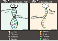 DNA (Deoxyribonucleic Acid)  PNA (Ribonucleic Acid)  Ribose  (sugar)  sugar  Generally  Generally  stranded. *few exceptions  AmoebaSisters  ew exceptions  Adenine  O Adenine  O Thymine  raCI  Cytosine  OSine  O Guanine  O Guanine A little comparison between DNA and RNA...   [The Amoeba Sisters]