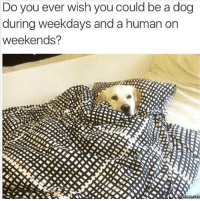 Weekend Meme: Do you ever wish you could be a dog  during weekdays and a human on  weekends?  Memes COMM