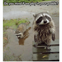 Cute, Memes, and Animal: Do you mind if we play inyour puddle? Don't let that cute face fool you.. Raccoons are the serial killers of the animal world! | Follow @cuteandfuzzybunch tho if you like them fuzzy memes