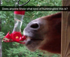 I cant find this one in the bird book?: Does anyone know what kind of hummingbird this is? I cant find this one in the bird book?