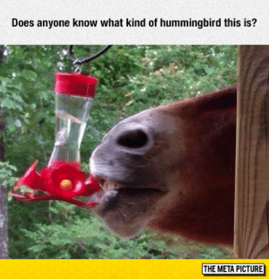 srsfunny:  Help Identifying A Bird: Does anyone know what kind of hummingbird this is?  THE META PICTURE srsfunny:  Help Identifying A Bird