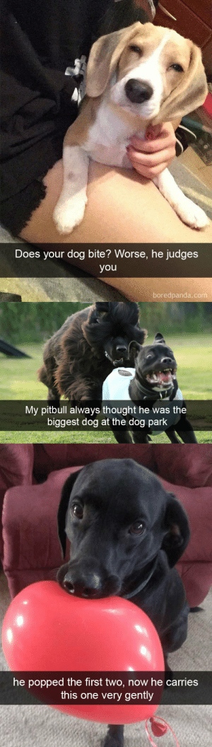 animalsnaps:Animal snaps: Does your dog bite? Worse, he judges  you  boredpanda.com   My pitbull always thought he was the  biggest dog at the dog park   he popped the first two, now he carries  this one very gently animalsnaps:Animal snaps