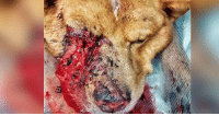 Dog BEAT with a BAT for protecting a small boy! Please help us save him! Click the link!  ► http://dogco.org/save-falkor-scr: Dog BEAT with a BAT for protecting a small boy! Please help us save him! Click the link!  ► http://dogco.org/save-falkor-scr